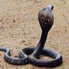 Змеи в Гоа